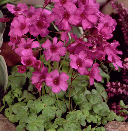 Afbeelding van oxalis brassiliennsis