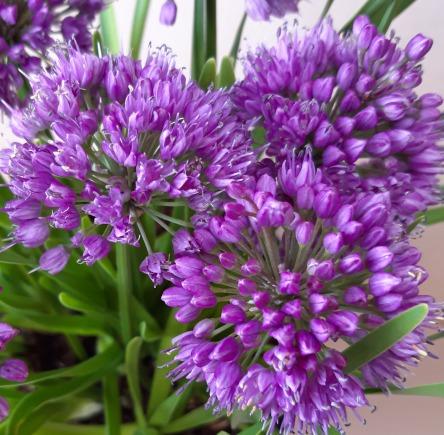 Afbeeling van Allium Millenium (r)