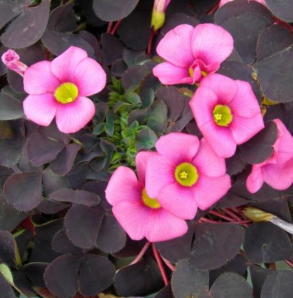 Afbeelding van Oxalis purpurea Garnet